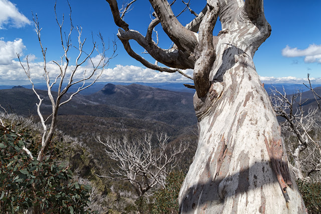 snow gum tree and Viking in distance