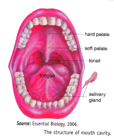 2013 mouth pharymx throat stomach system in human new science human put in the food they eat into the body by swallowing them which is called ingestion mouth is completed with some devices such as tongue teeth ccuart Choice Image