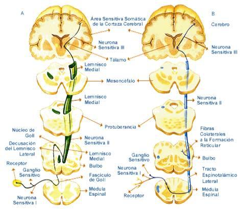 Anatomia y Fisiologia del Sistema Nervioso: CEREBRO