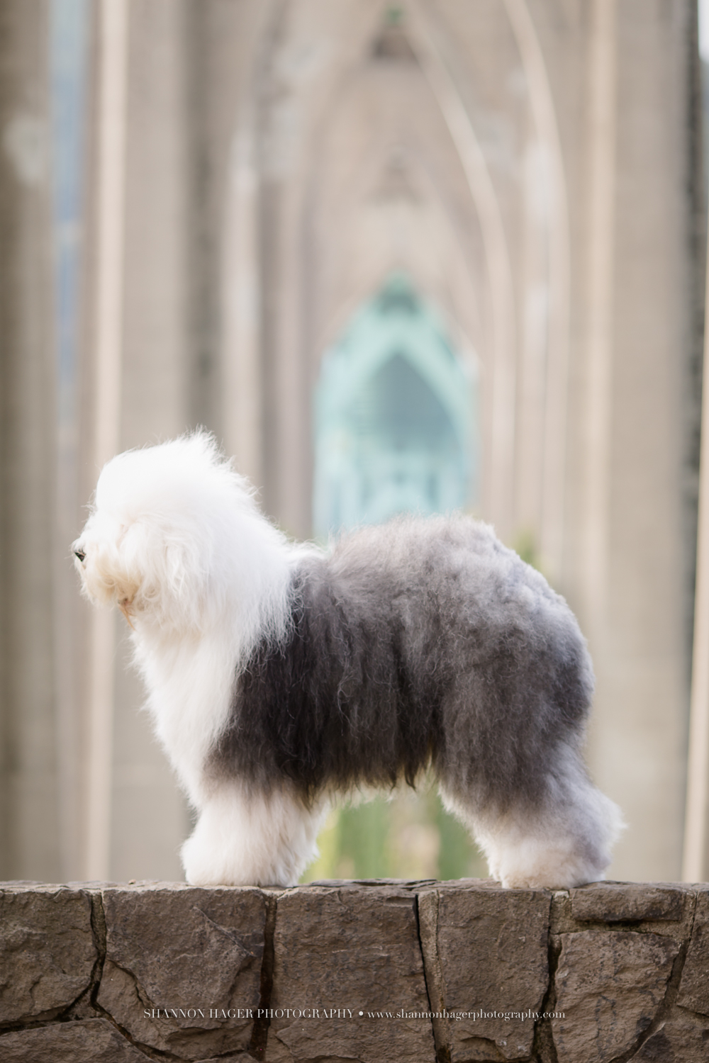 snowdowne oes, old english sheepdog, champion showdog, portland, oregon