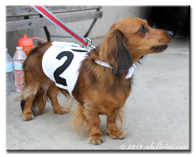 Long haired Dachshund wearing a number 2 wrap