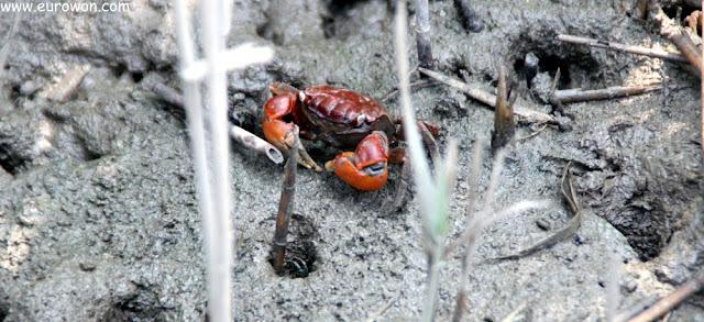 Cangrejo rojo coreano