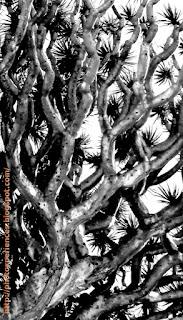 Ramas de drago - Drago branches