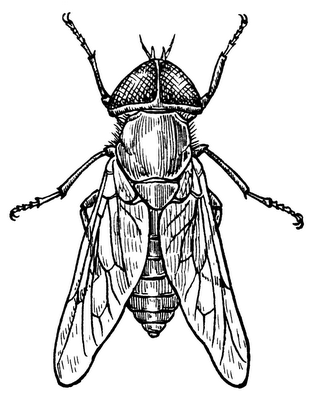 Wikimedia commons drawing of a gadfly.
