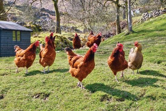ayam-ternakan-suntik