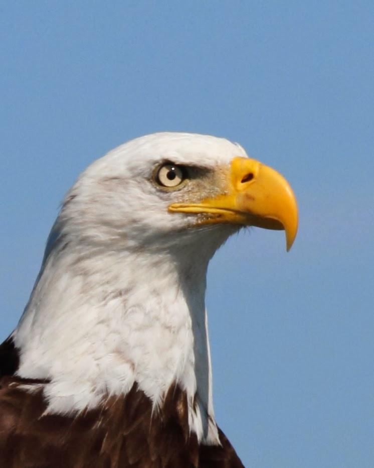Bald eagle head front - photo#2