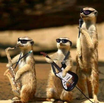 Suricatas músicos divertidos