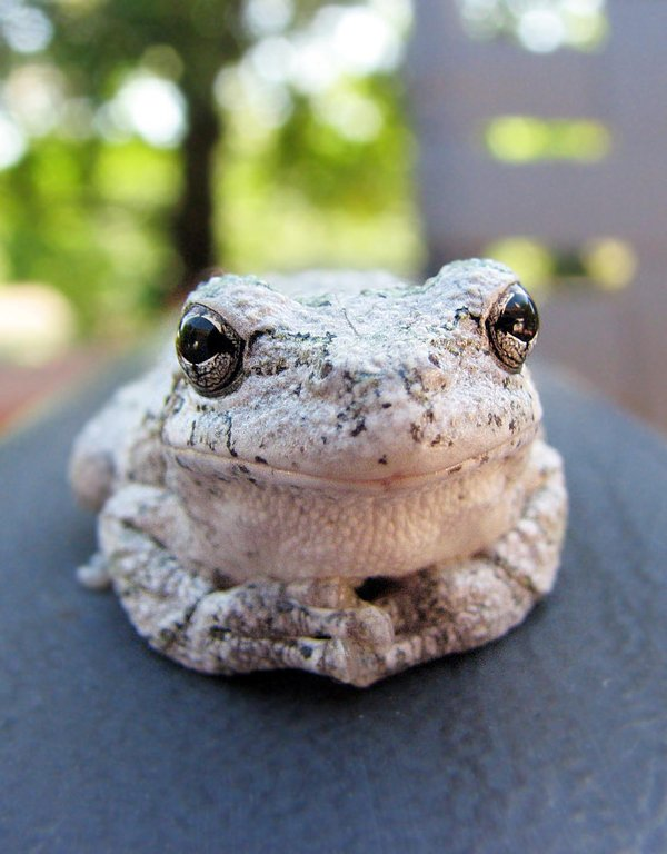 Gray tree frog - photo#25
