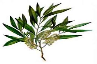 Aceite árbol de té para las verrugas