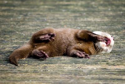 foto de filhote de lontra