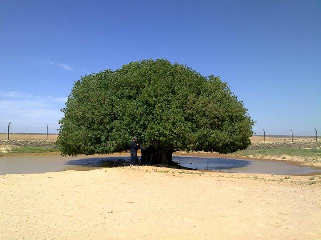Sepuluh Pokok-Pokok Besar Yang Paling Menakjubkan