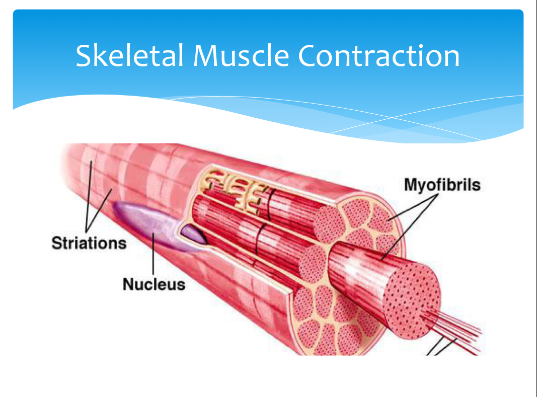 skeletal muscle The skeletal muscle dissociation kit, mouse and rat has been developed for the gentle, rapid, and effective generation of single-cell suspensions from murine.