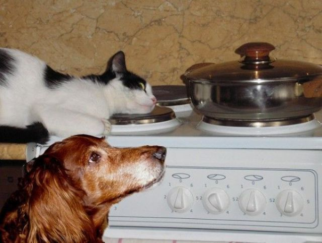 funny animals, dog and cat on stove