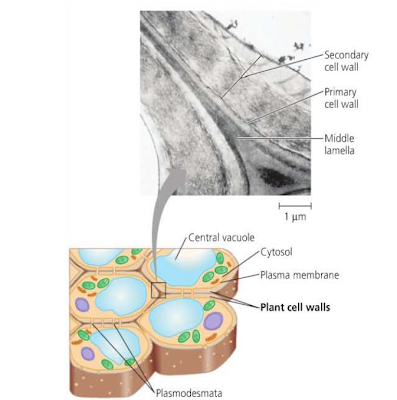 dinding sel tumbuhan