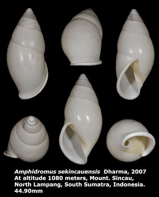 Amphidromus sekincauensis 44.90mm
