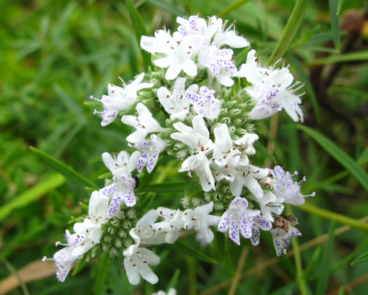The Joyce Road Neighborhood: Wildflower - Mountain Mint