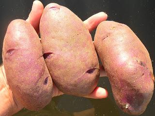 vkusniogorod, картофель Кубинка