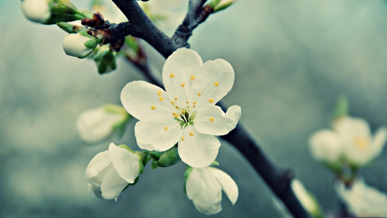 http://2.bp.blogspot.com/-a9z1v8vpAj0/UOakuKd3u2I/AAAAAAAAJh4/xTpttepv7kA/s1600/hinh-nen-hd-dep-cho-may-tinh-hoa-mai-trang-spring_flowers_4-wallpaper-2560x1440.jpg