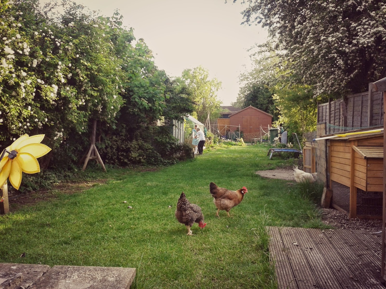 Project 365 day 136 - Chickens at play // 76sunflowers
