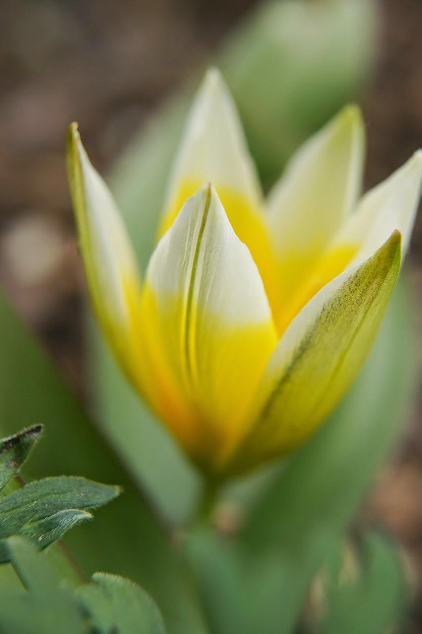 Botanisk tulpan