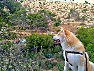 Perro de raza Akita Inu para monta en Almería