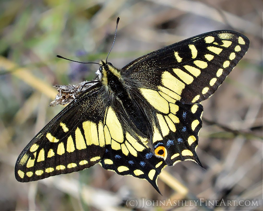 Anise swallowtail butterfly (c) John Ashley