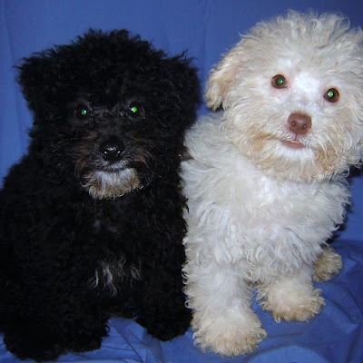 Poodle Puppy Pictures