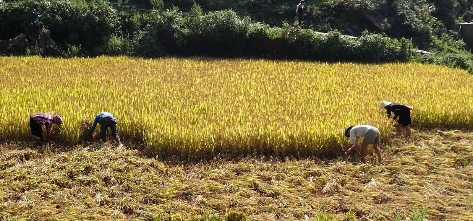 How To Harvest Rice By Hand