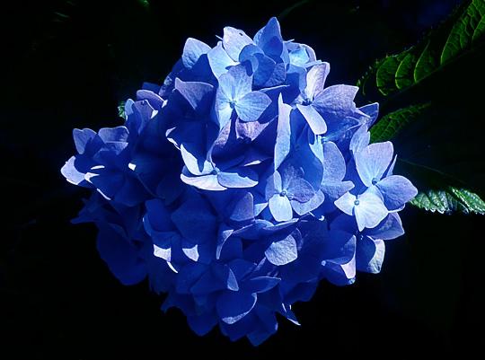 High altitude gardening january 2012 - Ortensia blu ...