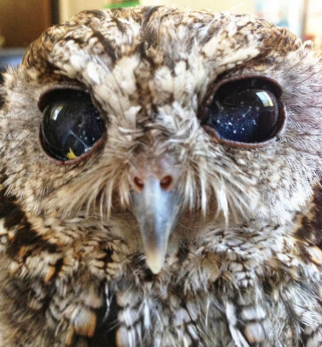 He feels right at home in at the Sylmar, California wildlife center. - It Appears This Gorgeous Blind Owl Has Awe Inspiring Constellations In His Eyes