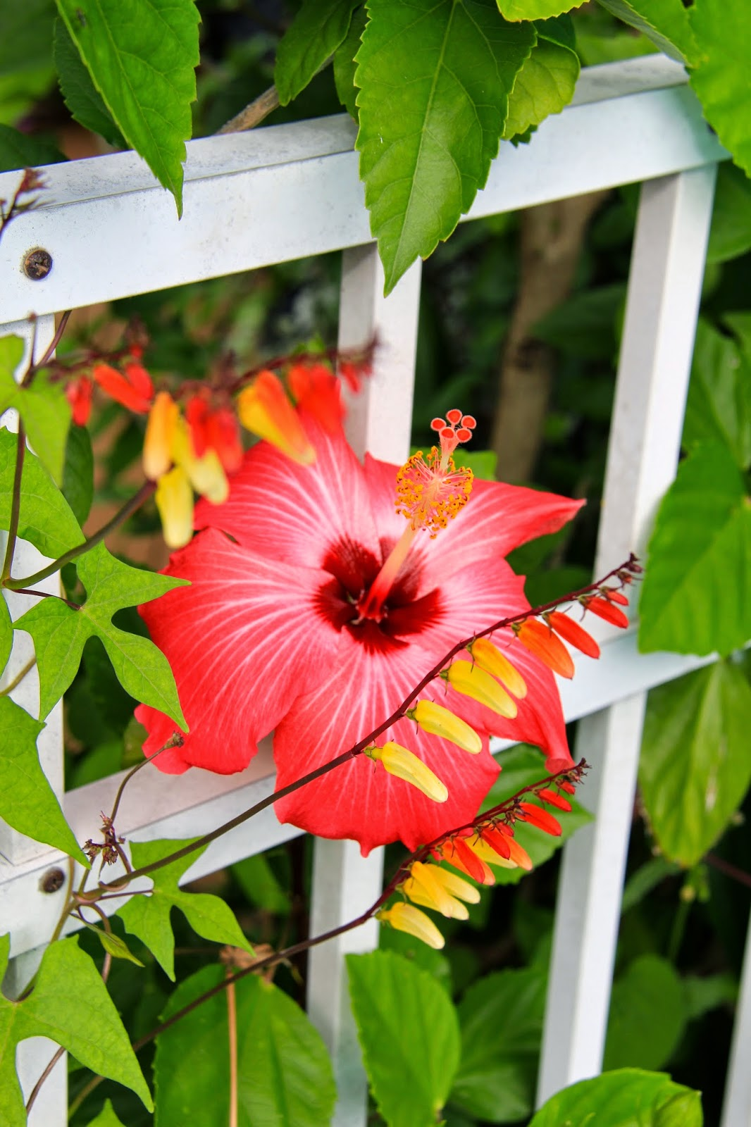 Tropical gardening in new york city early morning hibiscus blooms spanish flag bloom in the foreground and hibiscus bloom in the background izmirmasajfo