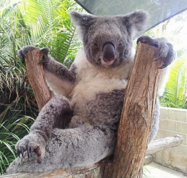 Funny animals of the week - 22 November 2013 (35 pics), koala funny pose