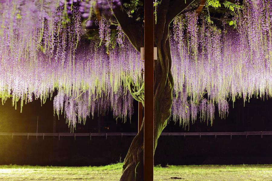 Глициния (вистерия) . Одно из самых красивых растений (12 фото)