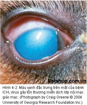 Mắt màu xanh nước biển là đặc trưng của bệnh viêm gan truyền nhiễm trên chó
