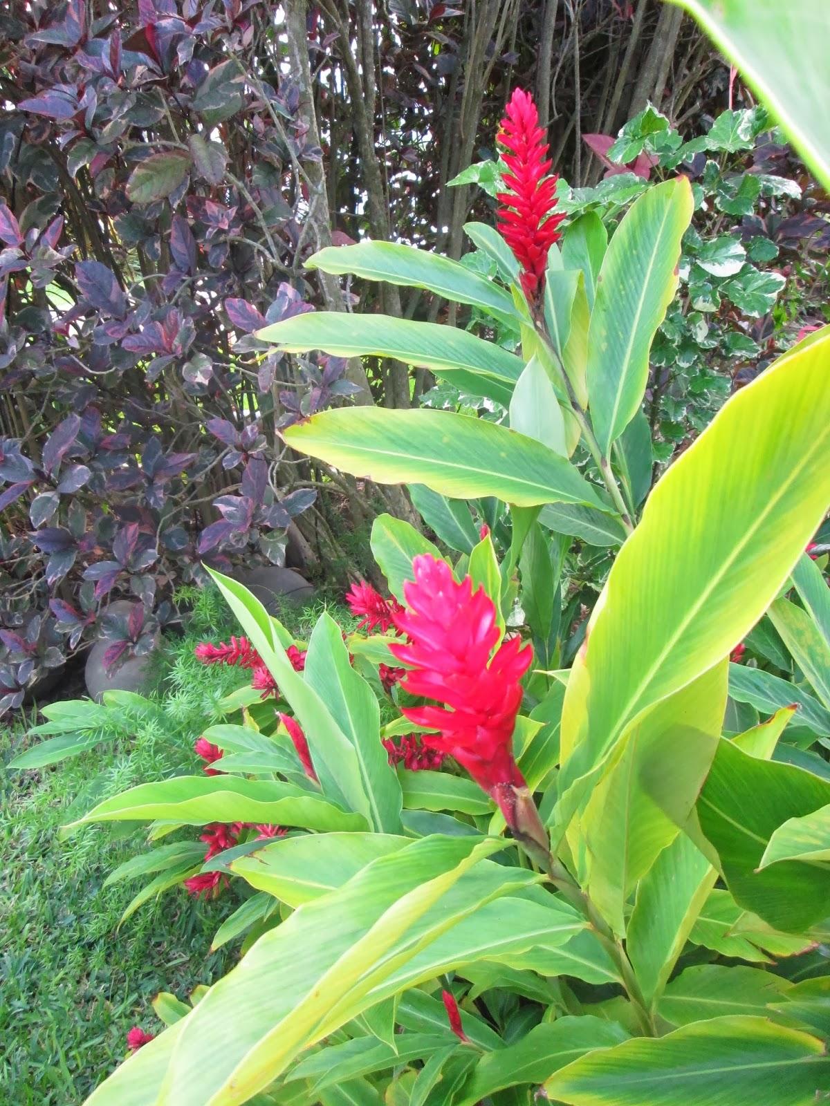 Garden notes from hawaii red ginger alpinia purpurata izmirmasajfo