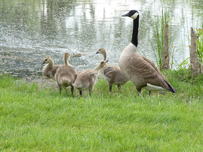 goose and four goslings