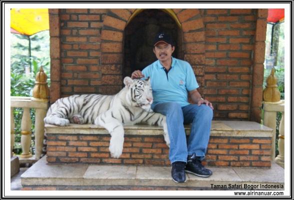 white tiger safari bogor indonesia