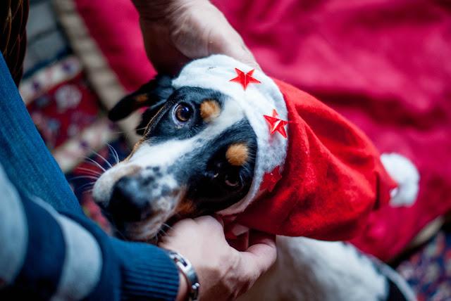 beagle cocker spaniel christmas
