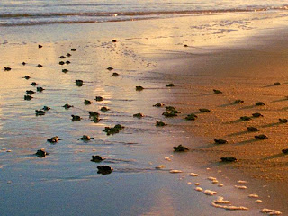 tartarugas indo para o mar