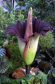 Corpse Flower Titan arum