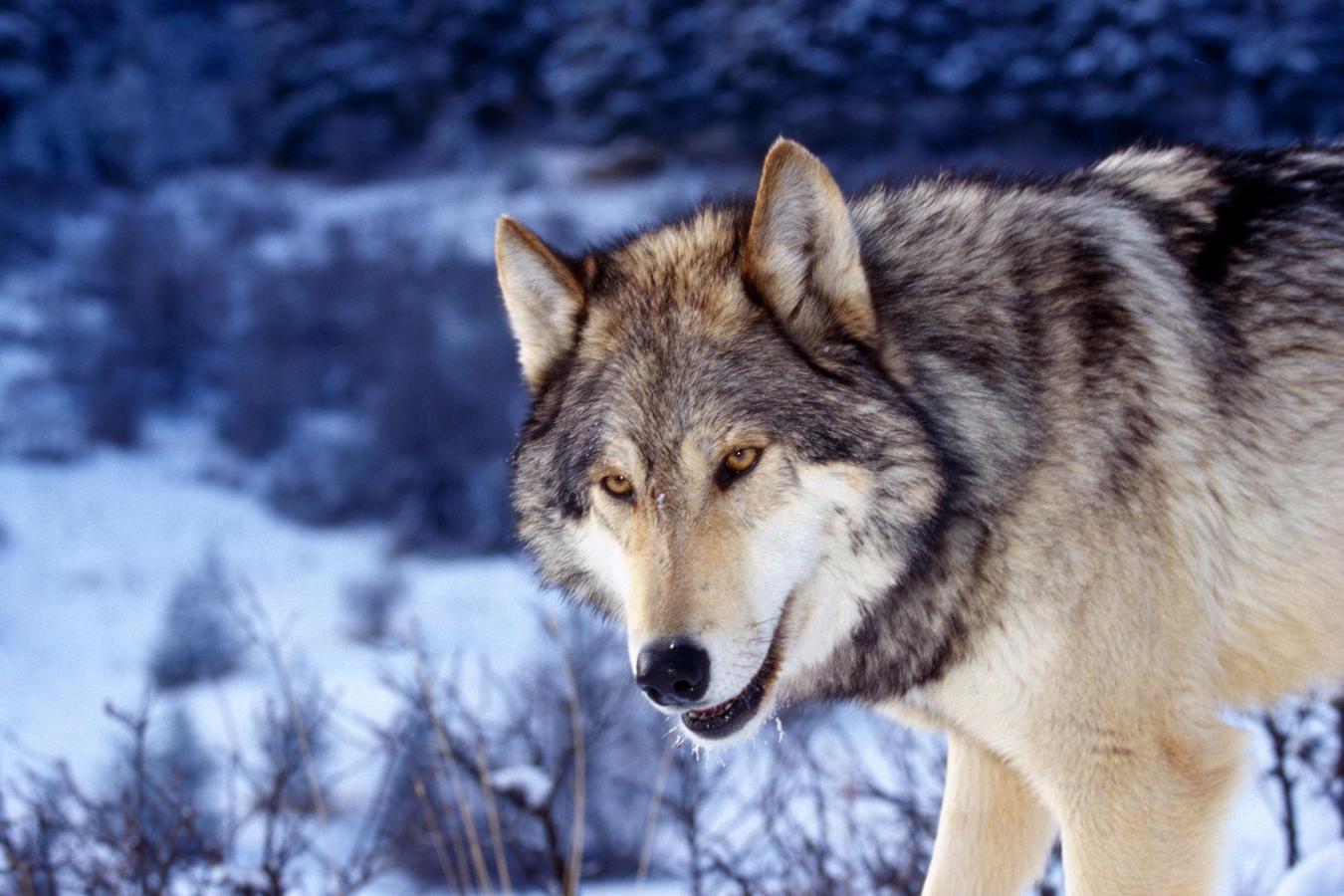 http://2.bp.blogspot.com/-aDWUfDL9T0s/UEa3yENN4II/AAAAAAAABiU/yGrkTW00z0A/s1600/Wolf%2BWallpapers%2BWidescreen%2B2.jpg
