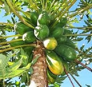 Copacul guanabana cu graviola