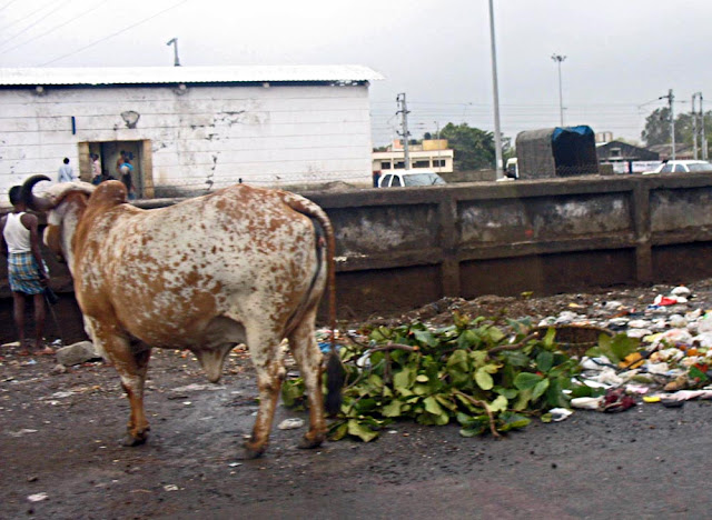 stray cow eating garbage