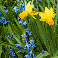 Daffodils and blue scillas