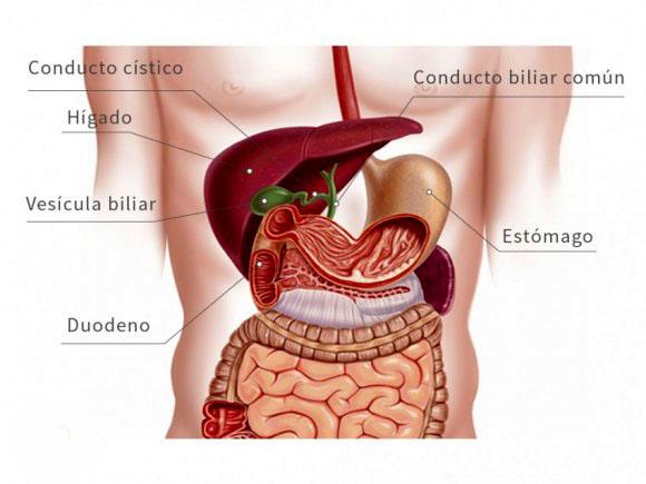 7 se ales de alerta del higado graso no alcoh lico for En k parte del cuerpo esta el higado