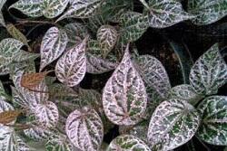 Manfaat daun sirih merah untuk kesehatan, manfaat daun sirih merah