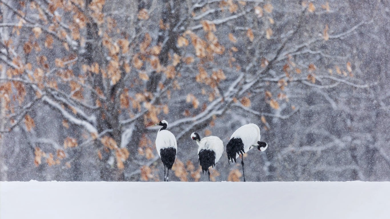 Red-crowned cranes in snowy landscape (© Jeremy Woodhouse/Blend Images/Getty Images) 351