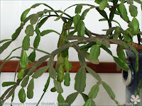 Schlumbergera truncata - Grudzień, Grudnik, Zygokaktus, Szlumbergera
