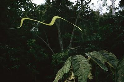 Foto ular terbang