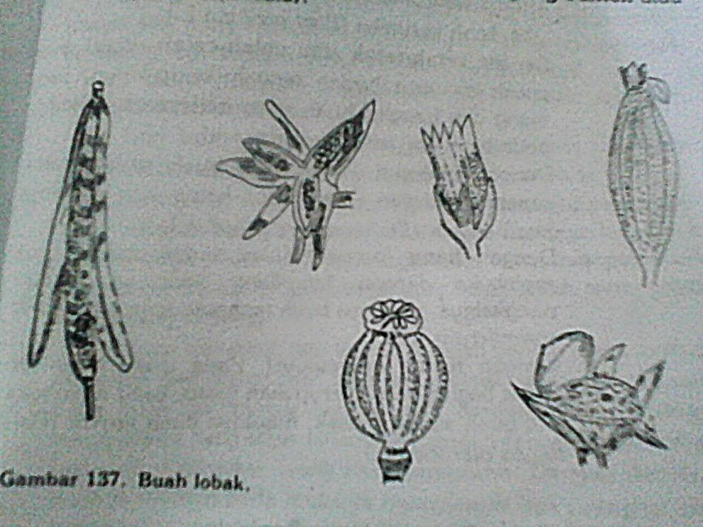 Morfologi Tumbuhan Buah Fructus